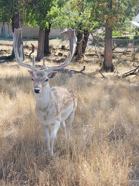 deer at wildlife safari